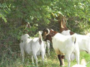Union Goats?